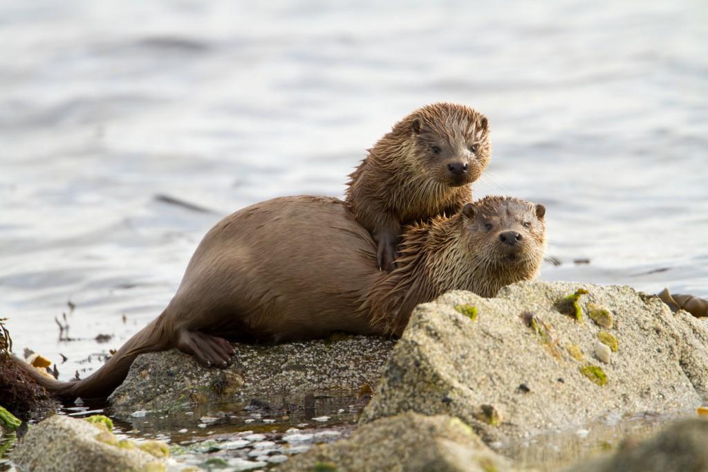 shutterstock_Otters
