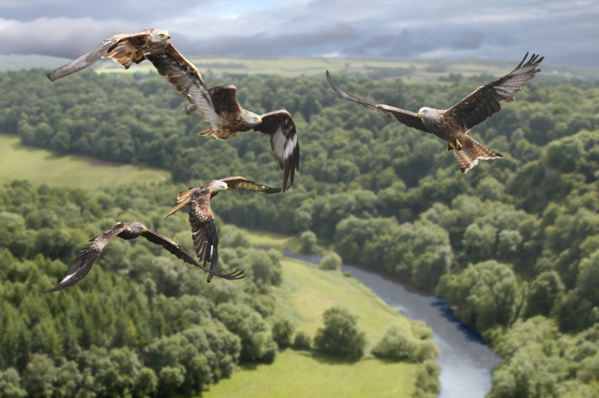 shutterstock_Red Kite