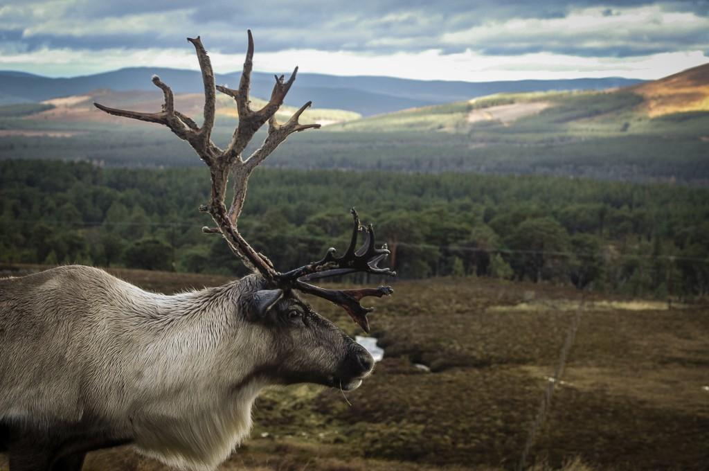 shutterstock_Reindeer, Cairngorms