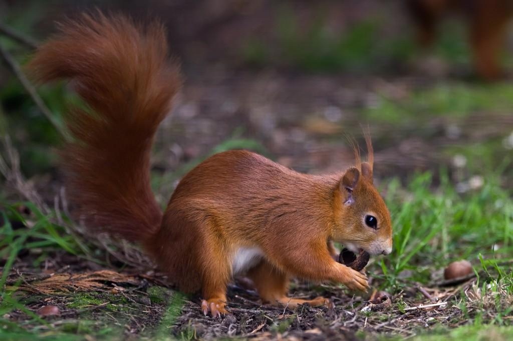 shutterstock_red squirrel